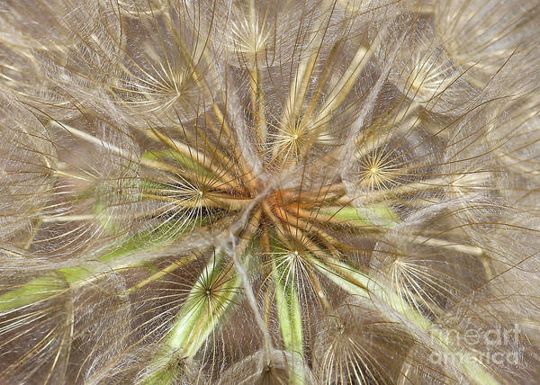 Photograph - Mesmerizing Salsify Macro by Carol Groenen