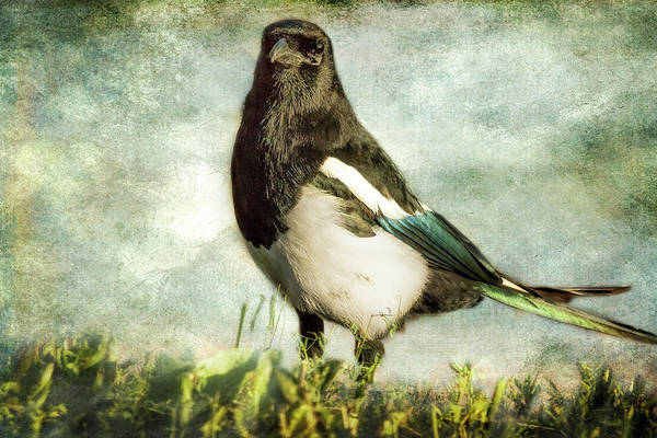 Photograph - Message From The Magpie by Belinda Greb