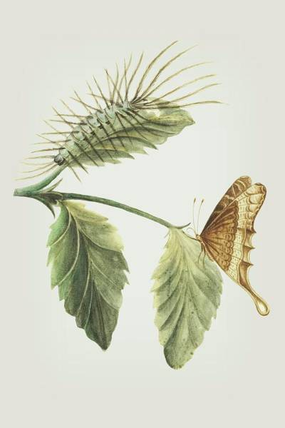 Mixed Media - Metamorphosis Of The Caterpillar Shown On A Leaf With The Butterfly By Cornelis Markee 1763 by Cornelis Markee