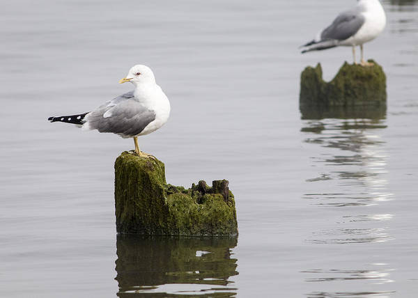 Photograph - Mew Gull On A Piling by Robert Potts