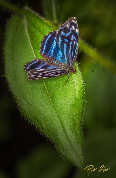 Photograph - Mexican Blue Butterfly by Rikk Flohr