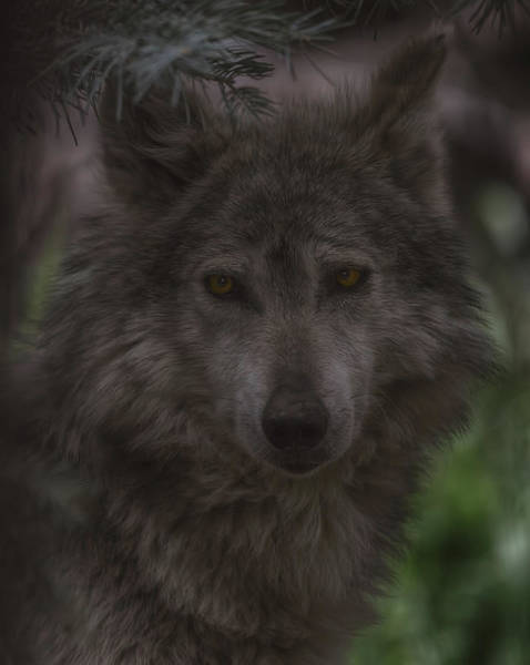 Photograph - Mexican Grey Wolf by Brian Cross
