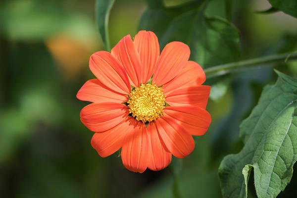 Wall Art - Photograph - Mexican Sunflower 2017-1 by Thomas Young