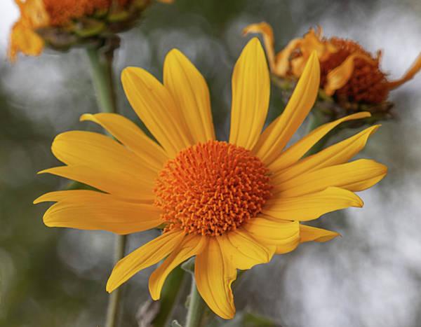 Photograph - Mexican Sunflower by Teresa Wilson