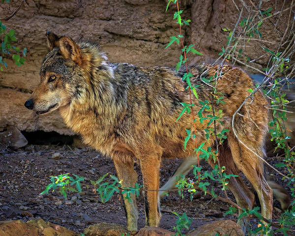 Photograph - Mexican Wolf H1841 by Mark Myhaver