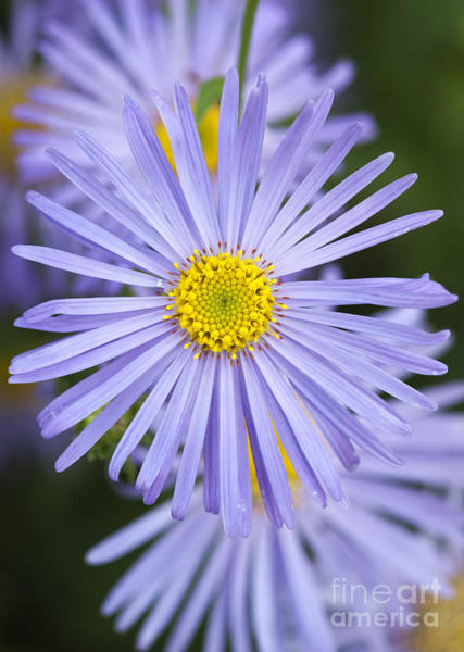 Aster Photograph - Michaelmas Daisy by Tim Gainey