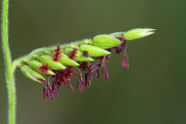 Photograph - Michaux's Cupgrass by Paul Rebmann