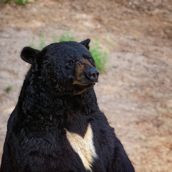 Photograph - Michigan Black Bear by Lars Lentz