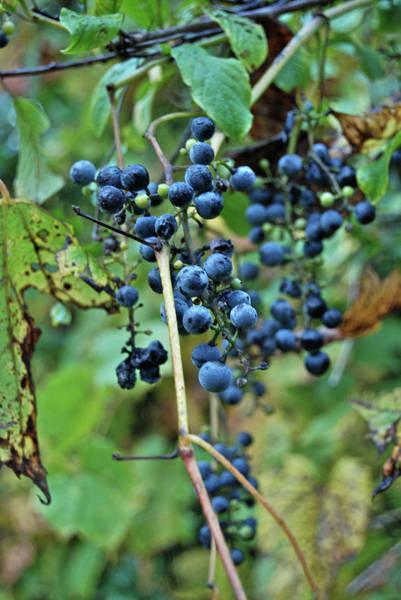 Wild Grape Photograph - Michigan Grapes by Michael Peychich