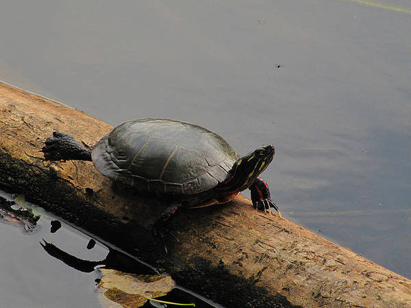 Painted Turtle Photograph - Michigan Painted Turtle by Scott Hovind