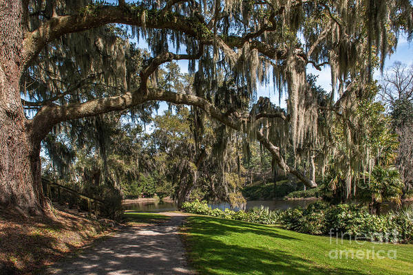 Photograph - Middleton Live Oak Stretch by Dale Powell