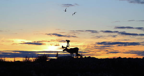 Tern Wall Art - Photograph - Midnight Caribou Sunset by Nick Laferriere