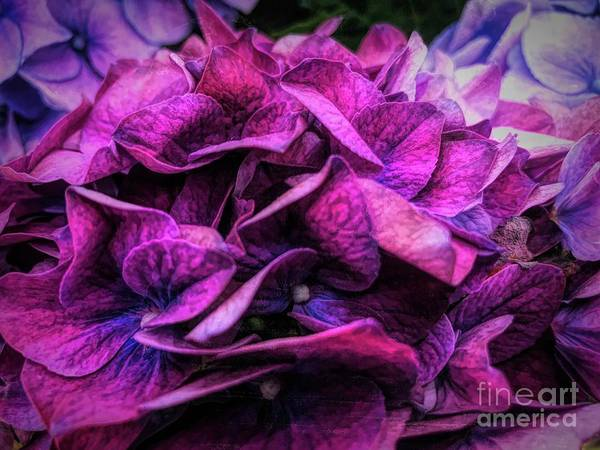 Print On Demand Wall Art - Photograph - Midnight Hydrangea by Luther Fine Art