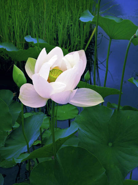 Lotus Pond Photograph - Midnight Lotus by Jessica Jenney