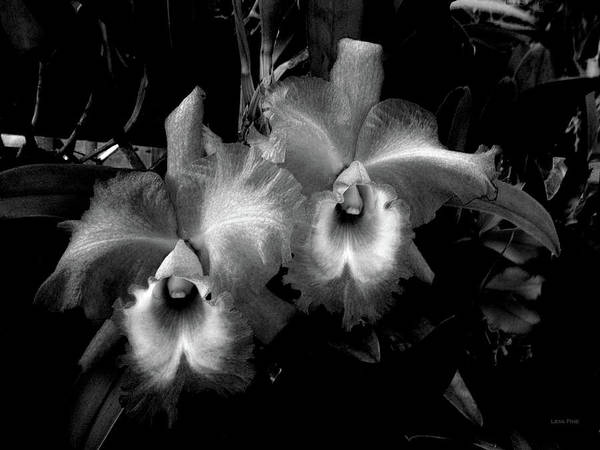 Photograph - Midnight Orchids  by Lesa Fine