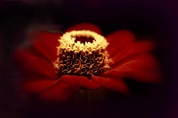 Zinnia Flower Wall Art - Photograph - Midnight Zinnia by Jessica Jenney
