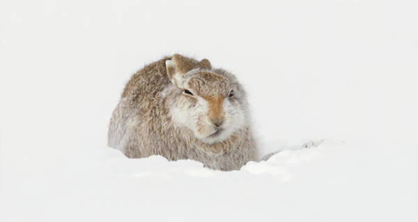 Photograph - Miffed Mountain Hare by Peter Walkden