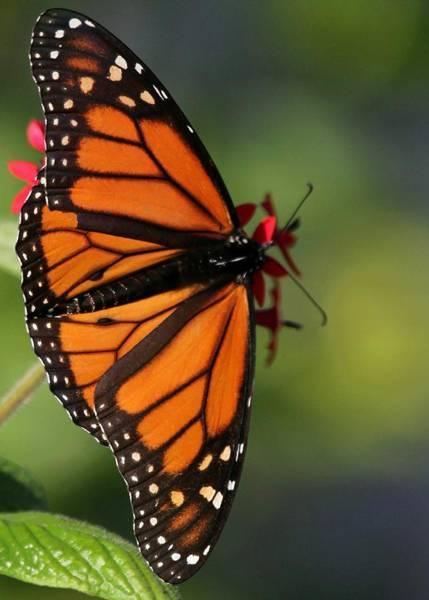 Photograph - Mighty Monarch by Sabrina L Ryan