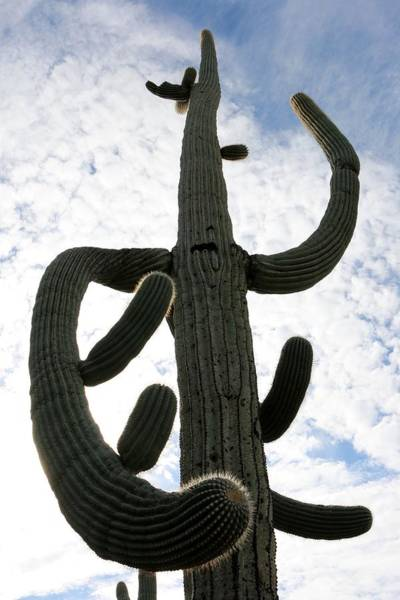 Photograph - Mighty Saguaro  by Christy Pooschke