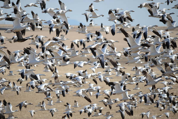 Wall Art - Photograph - Migrating Snow Geese by Whispering Peaks Photography