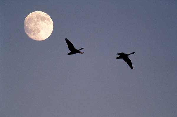 Canadian Geese Photograph - Migration by Gerard Fritz