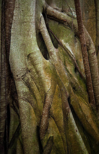 Fig Tree Wall Art - Photograph - Miksang 8 Strangler by Theresa Tahara