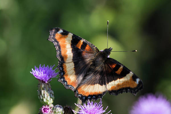 Photograph - Milbert's Tortoiseshell Butterfly by Robert Potts