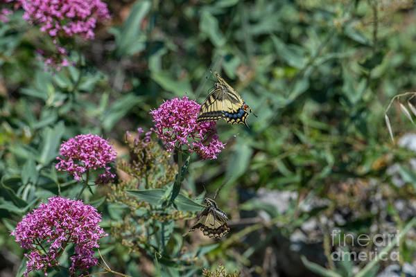 Photograph - Milkweed by Joseph Yarbrough