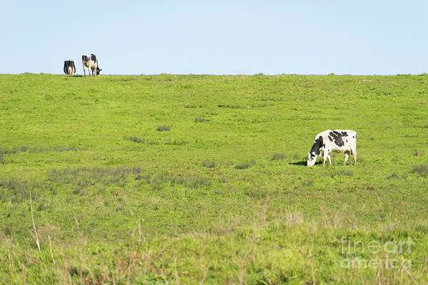 Photograph - Milk Cow At Point Reyes National Seashore California Dsc4882 by Wingsdomain Art and Photography