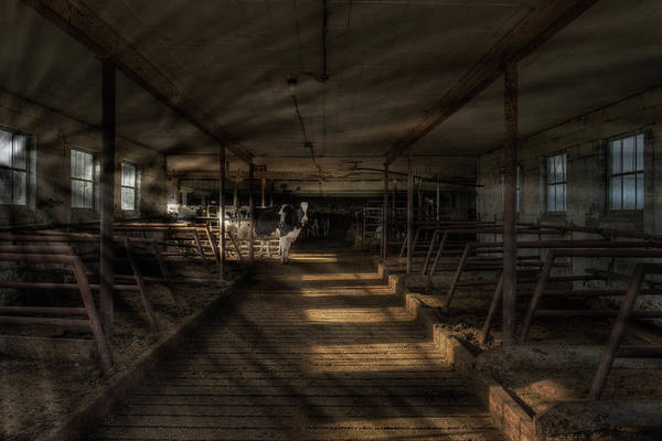 Photograph - Milk Cows In Radiant Light by Dennis Dame