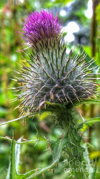 Photograph - Milk Thistle by Abbie Shores