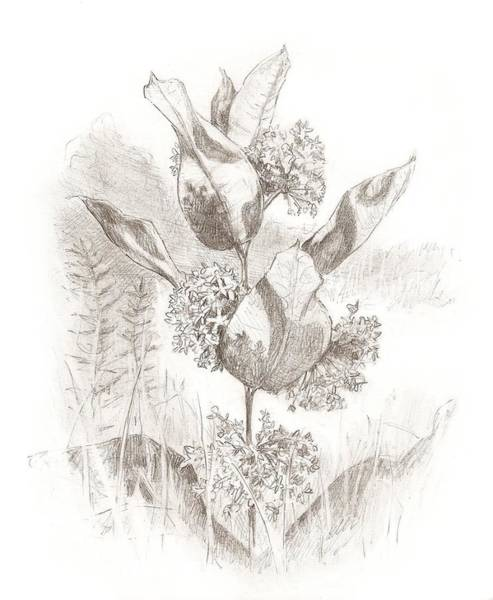 Drawing - Milkweed by Abby McBride