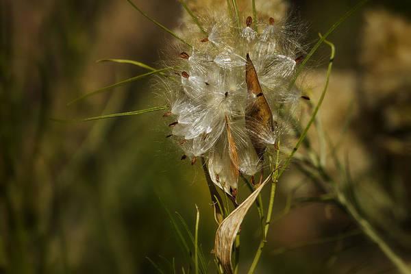 Photograph - Milkweed by Belinda Greb