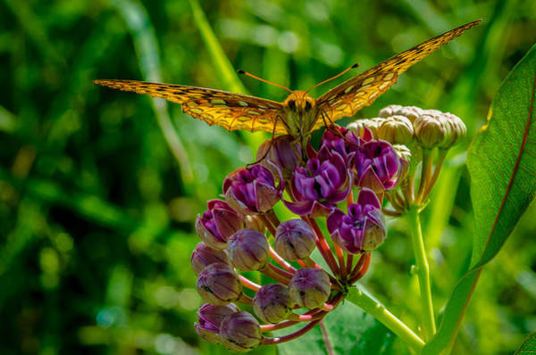 Photograph - Milkweed Buffet by Jeff Phillippi