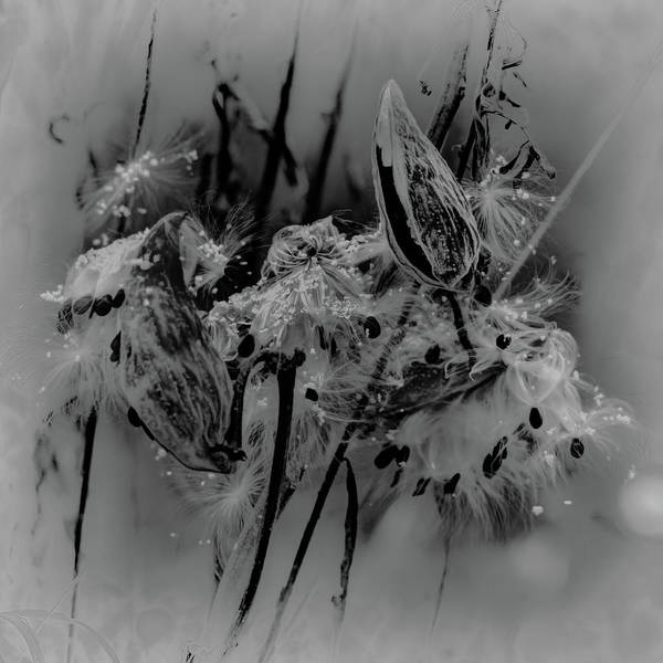 Photograph - Milkweed In Snow by David Heilman