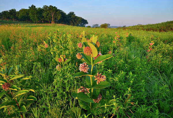 Photograph - Milkweed In The Morning In Lost Valley Of Glacial Park by Ray Mathis