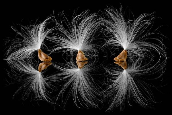 Airborne Photograph - Milkweed Seeds by Jim Hughes