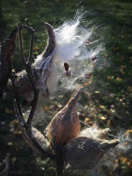 Photograph - Milkweed by Tim Nyberg
