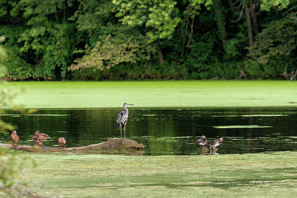 Photograph - Millards, Great Blue Heron And Wood Ducks by Edward Peterson