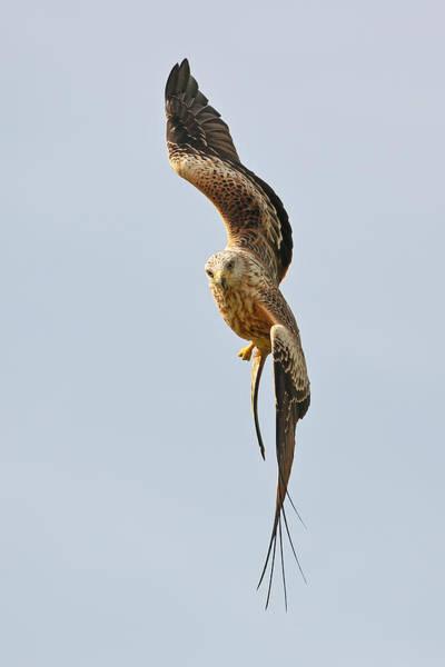Photograph - Milvus Milvus In Flight by Grant Glendinning