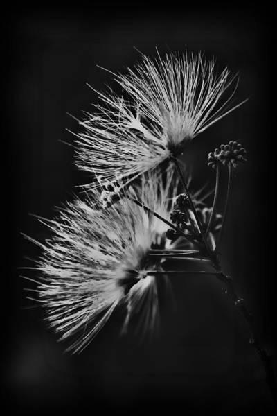 Photograph - Mimosa Drama by Patricia Montgomery