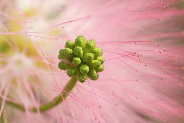 Photograph - Mimosa Flower Closeup by Liza Eckardt