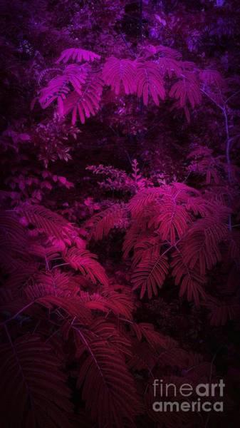 Photograph - Mimosa Fucsia by Rachel Hannah
