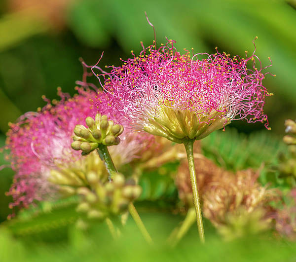 Photograph - Mimosa Macro by Keith Smith