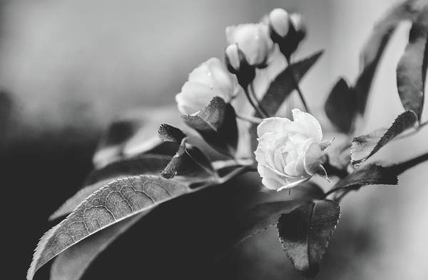Photograph - Mini Roses Black White by Andrea Anderegg