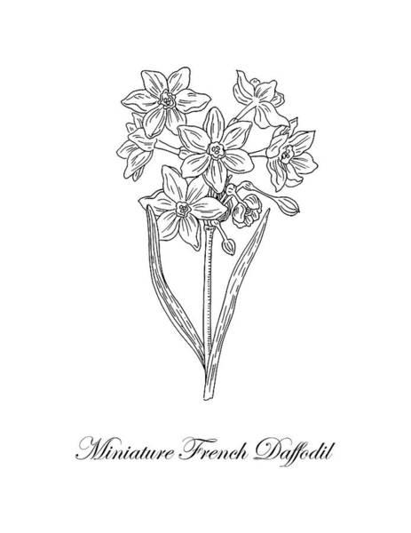 Drawing - Miniature Daffodil Botanical Drawing Black And White by Irina Sztukowski