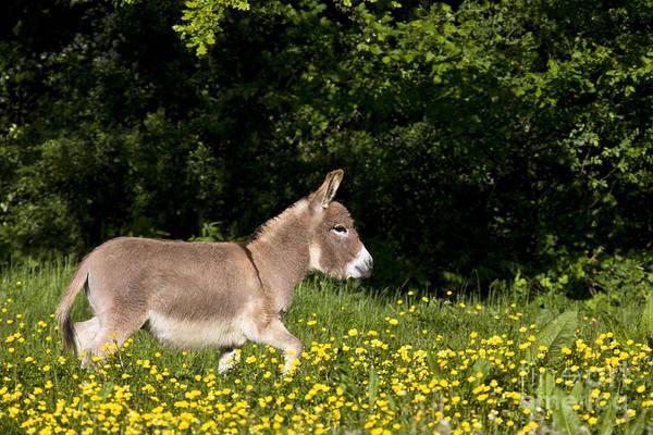 Equus Africanus Photograph - Miniature Donkey by Jean-Louis Klein & Marie-Luce Hubert