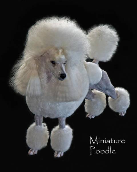 Photograph - Miniature Poodle by Larry Linton
