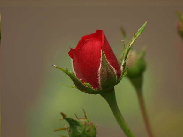 Miniature Red Rose Art Print