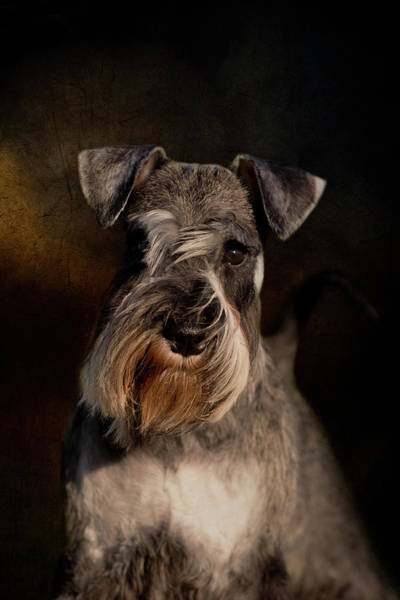 Photograph - Miniature Schnauzer by Diana Andersen
